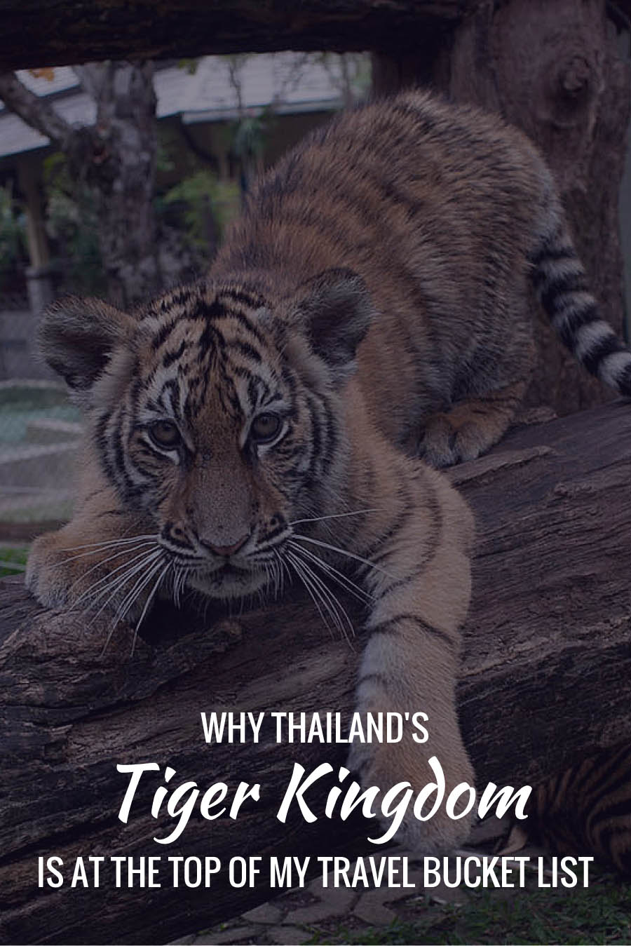 Why Thailand's Tiger Kingdom is at the top of my travel bucket list!